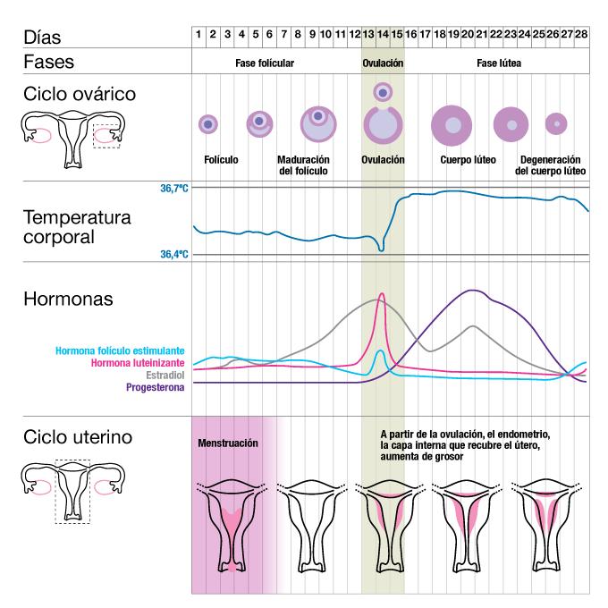 ciclo-ovarico-y-uterino